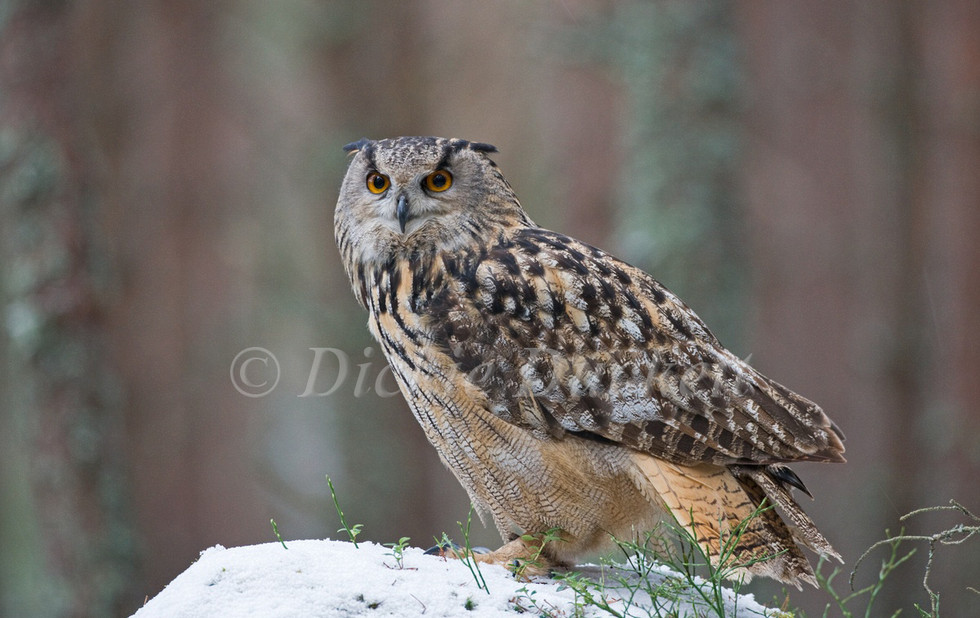_X0A2342 Eagle Owl on snow mound in fore