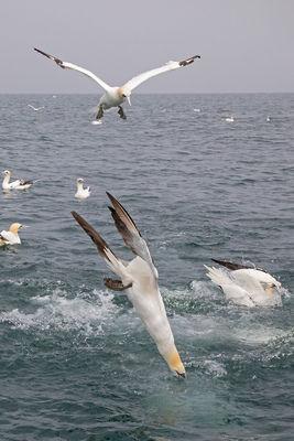 _I8A7929 Gannet diving (vert crop) 2.jpg