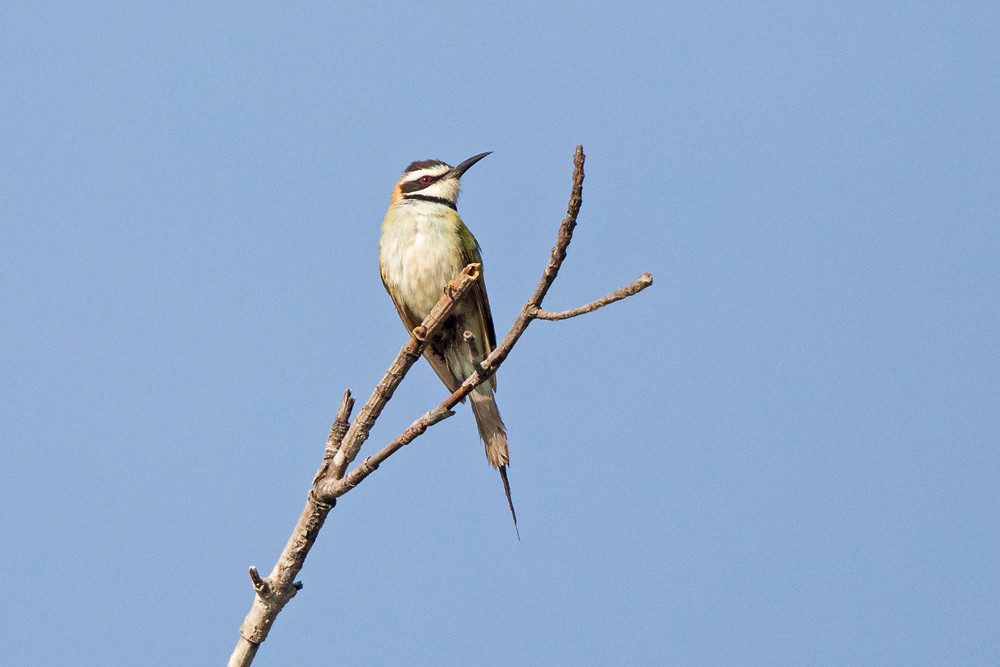 _H2P9676 White-throated Bee Eater.jpg