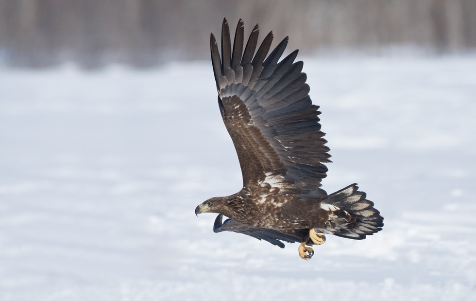 _93C3287 Eagle low over snow