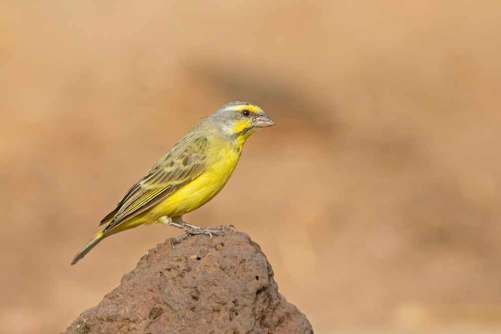 _A5A0212 Yellow-fronted Canary.jpg