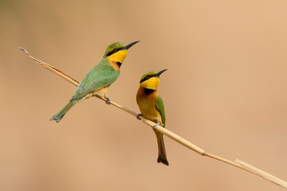 _A5A0633 Little Bee Eater pair.jpg
