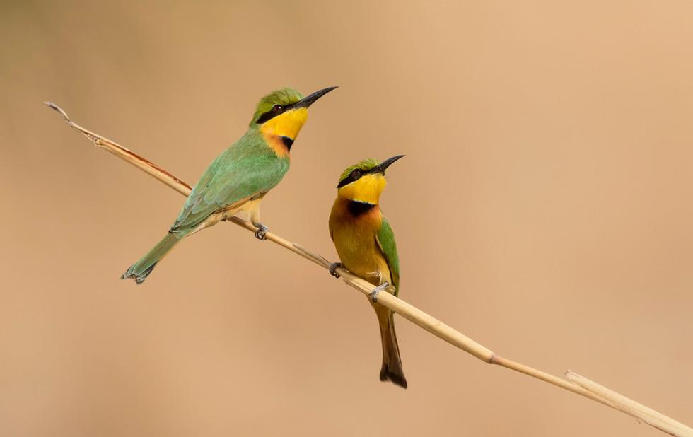 _A5A0633 Little Bee Eater pair.jpg
