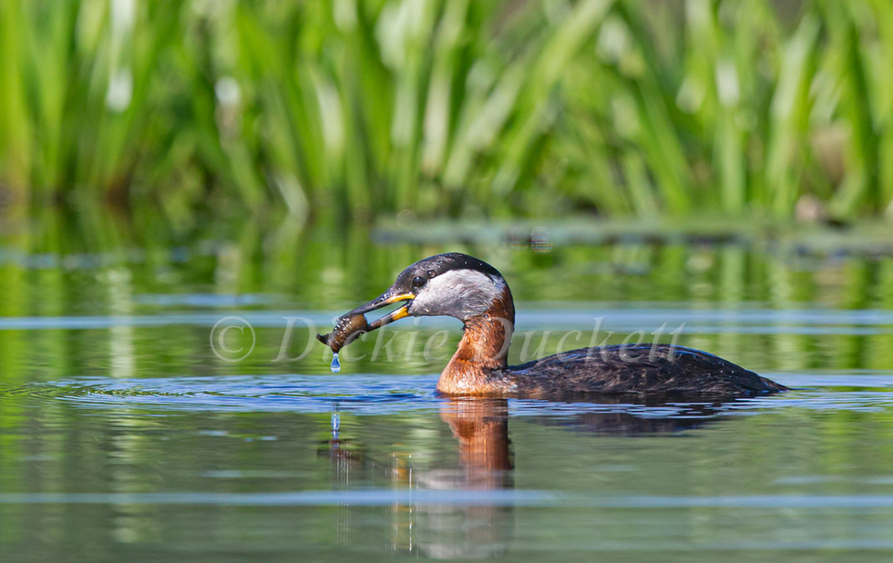 _H2P1359 Red-necked Grebe with Beetle Larva.jpg