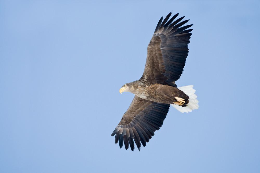 _93C3202 Eagle in flight