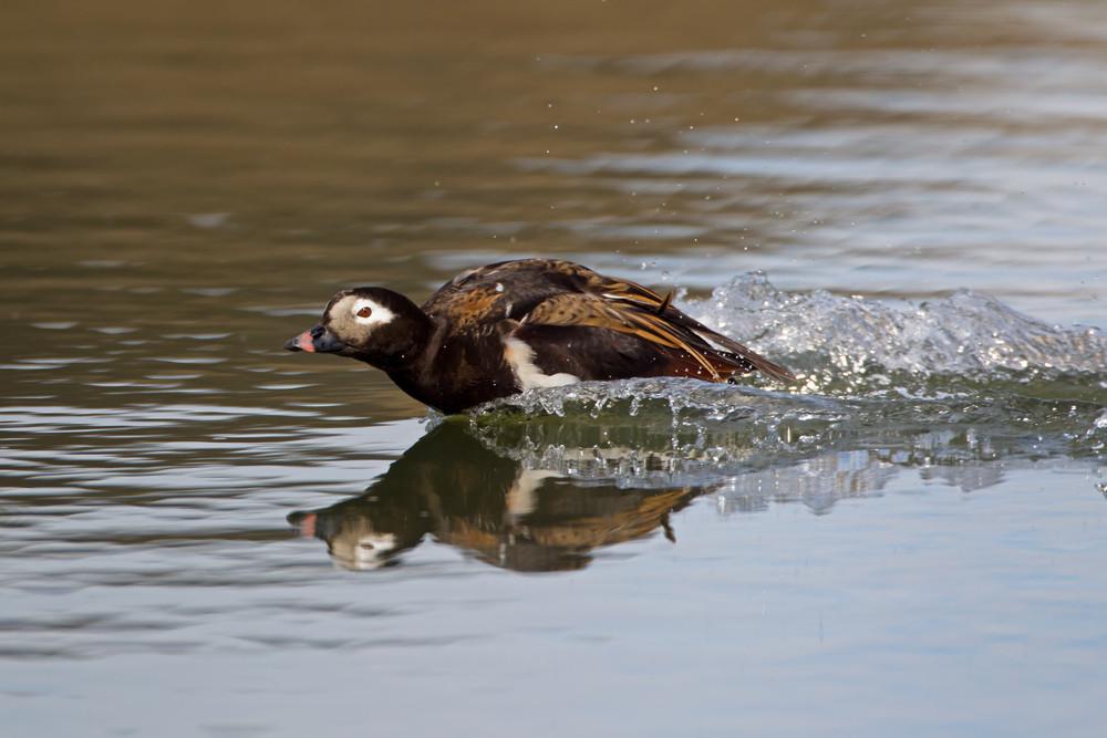 _13C6346 Long-tailed Duck landing.jpg