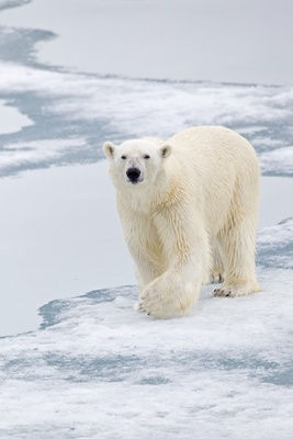 _13C8534 Polar Bear wlaking towards OK.j