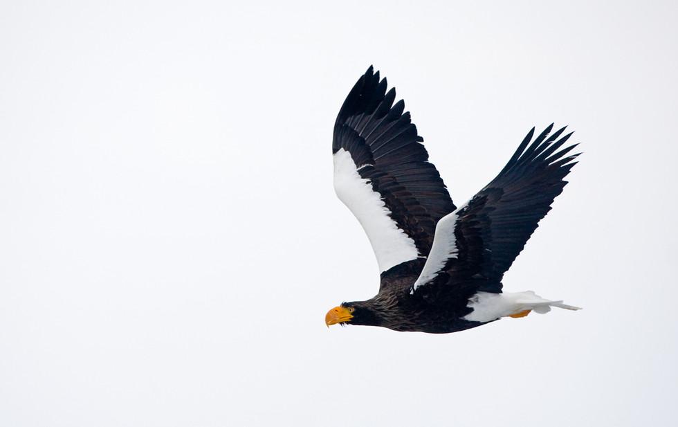 _93C6925 Steller's in flt wings up.jpg