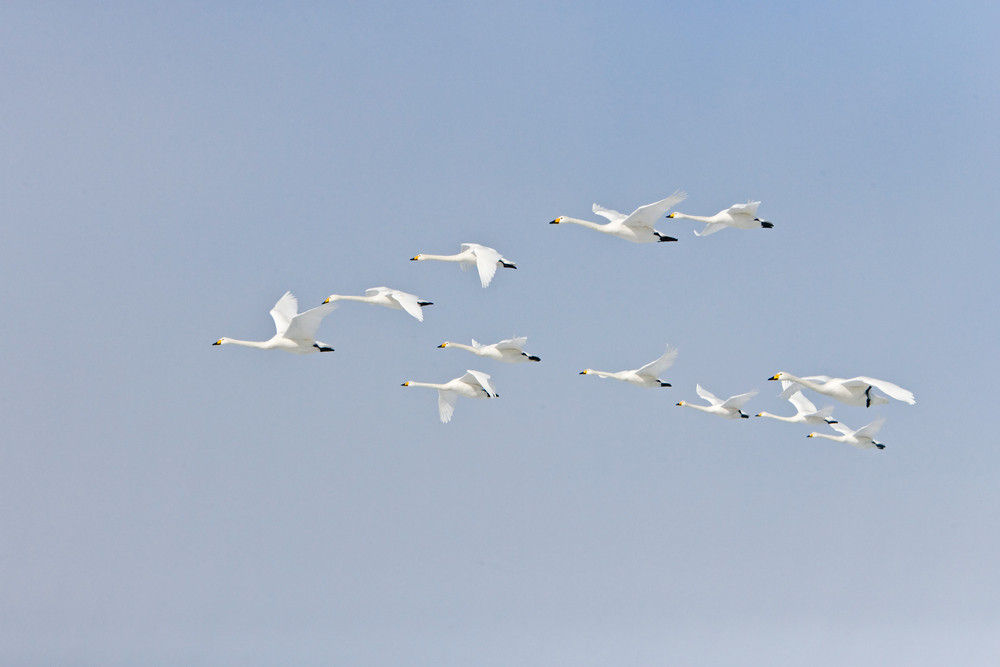 _X0A3265 Whooper formation