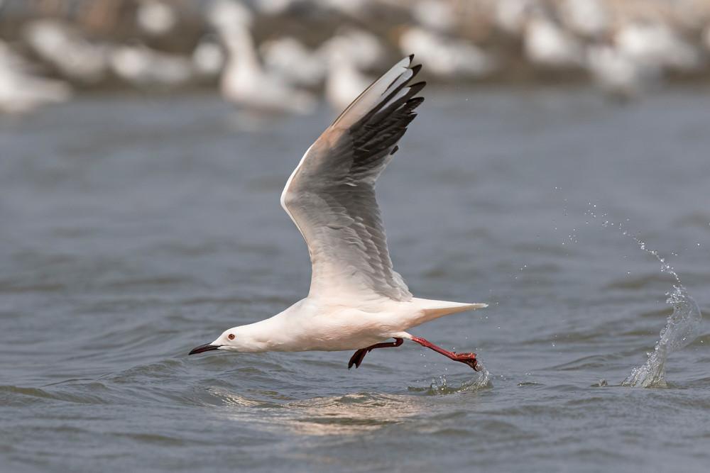 _A5A6880 Slender-billed Gull take off.jp