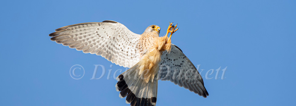 _H2P0208 Kestrel catching Mayfly OK.jpg