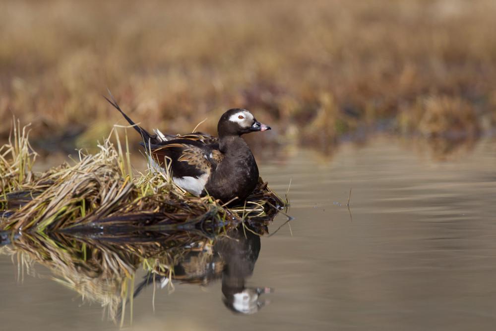 _13C6365 Long-tailed Duck.jpg