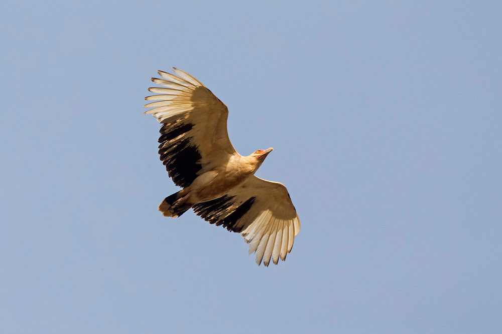 _H2P1102 Palm Nut Vulture.jpg