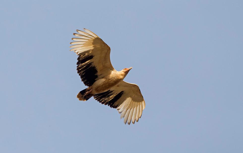 _H2P1102 Palm Nut Vulture.jpg