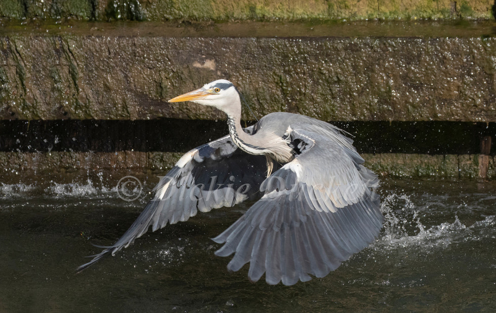 _A5A7917 Heron taking off from water.jpg