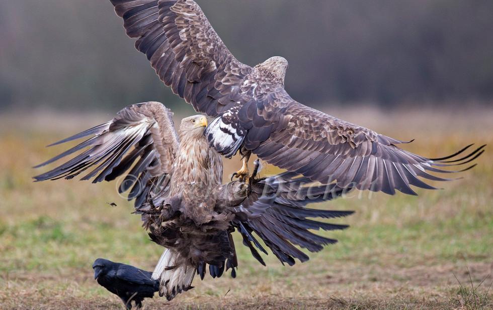 _H2P0801 Eagles fighting.jpg