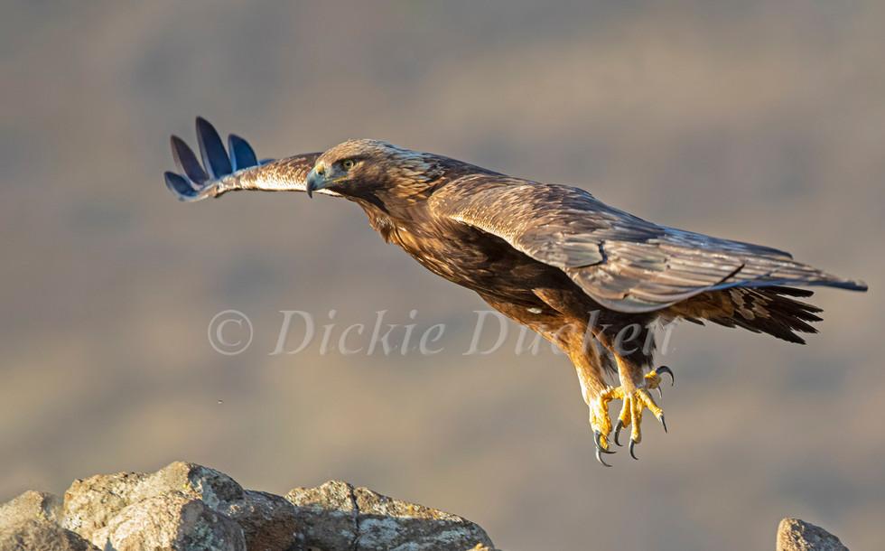 _I8A4165 Golden Eagle in flt.jpg
