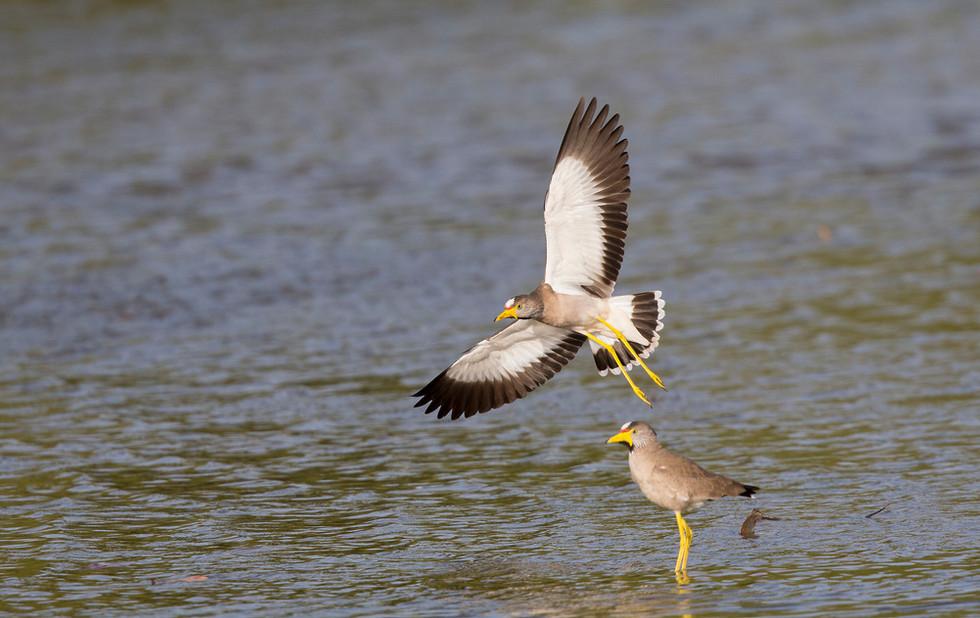 _H2P8943 Wattled Plover landing.jpg