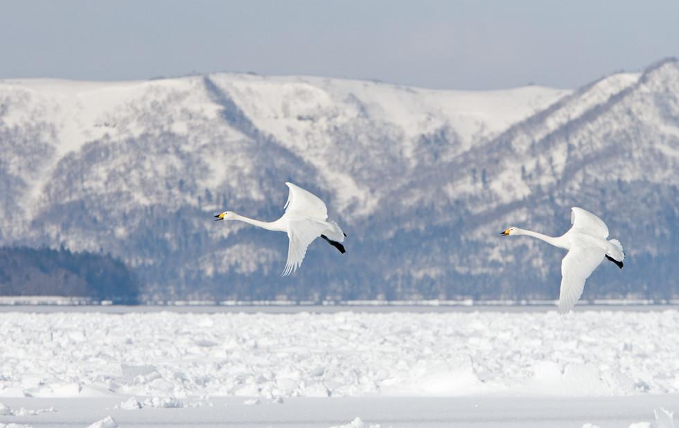 _X0A3542 Swan pair