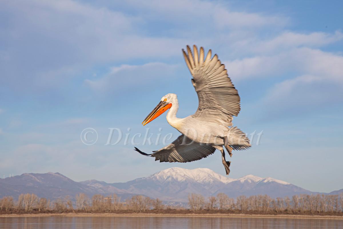 _I8A0411 Dalmatian Pelican landing mount