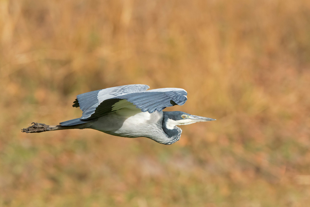 _A5A2289 Black-headed Heron.jpg