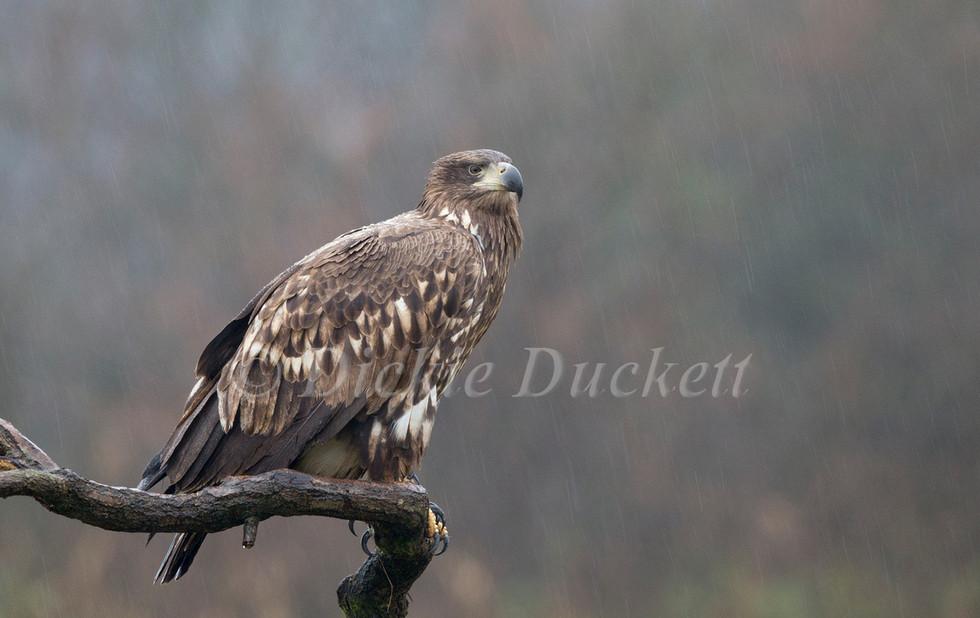 _H2P3695 Eagle in rain