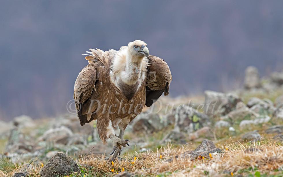 _I8A3696 Griffon Vulture running towards