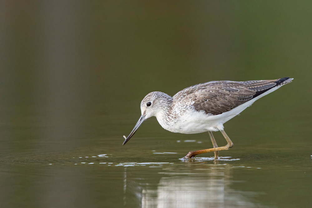 _A5A4021 Greenshank with prey.jpg