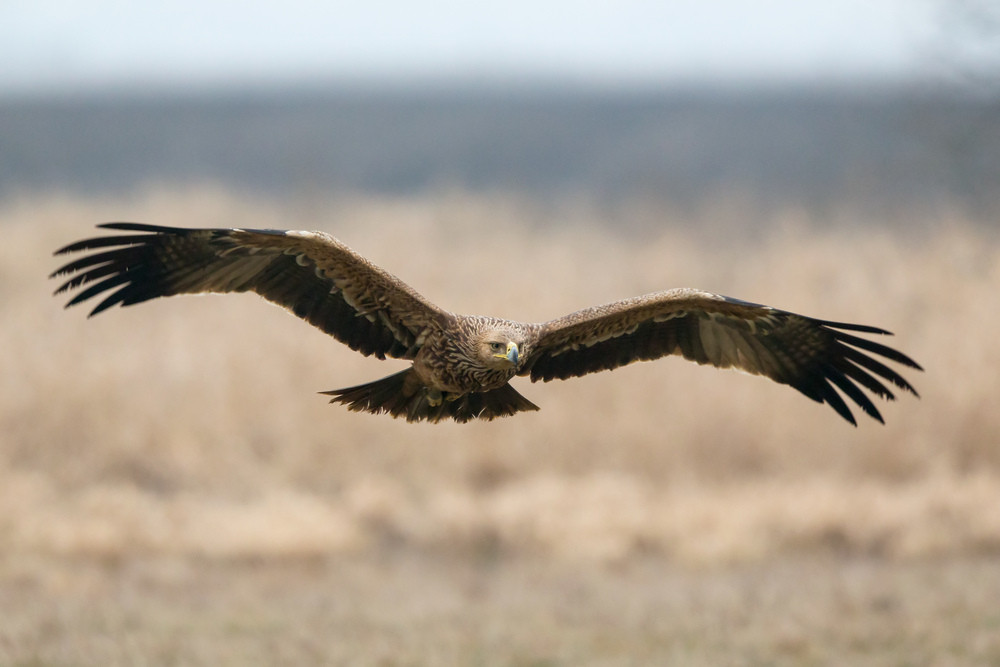 _H2P4480 IMperial Eagle in flt.jpg