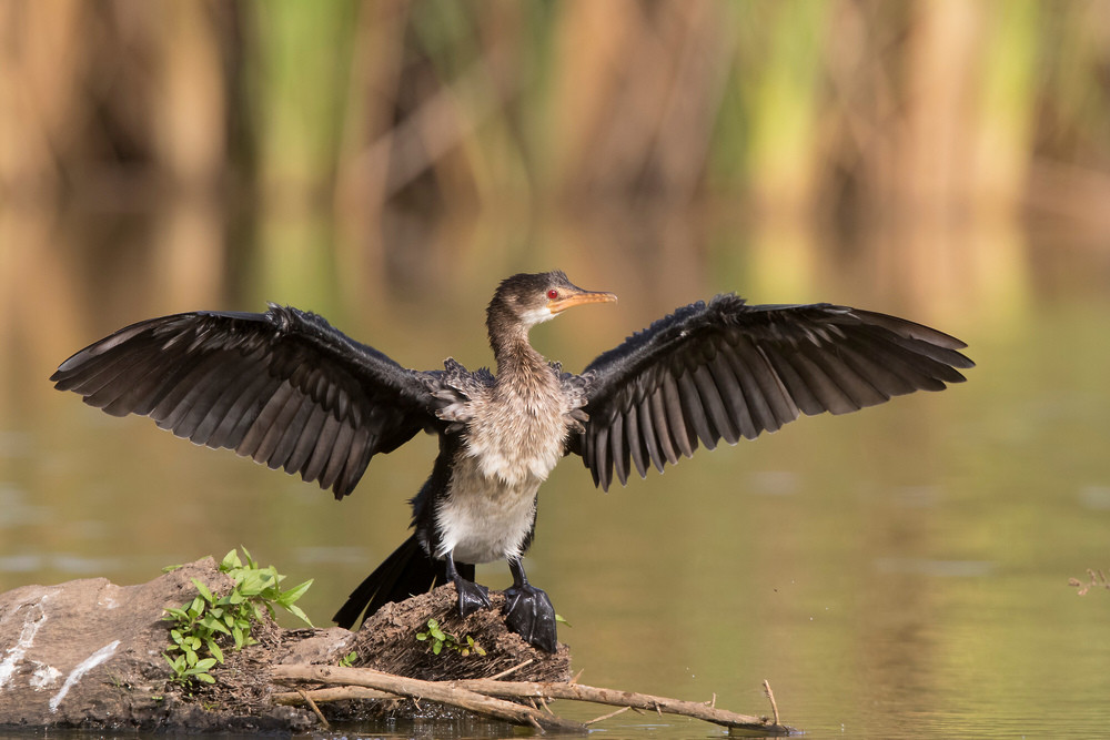 _A5A3892 Long-tailed Cormorant drying wi