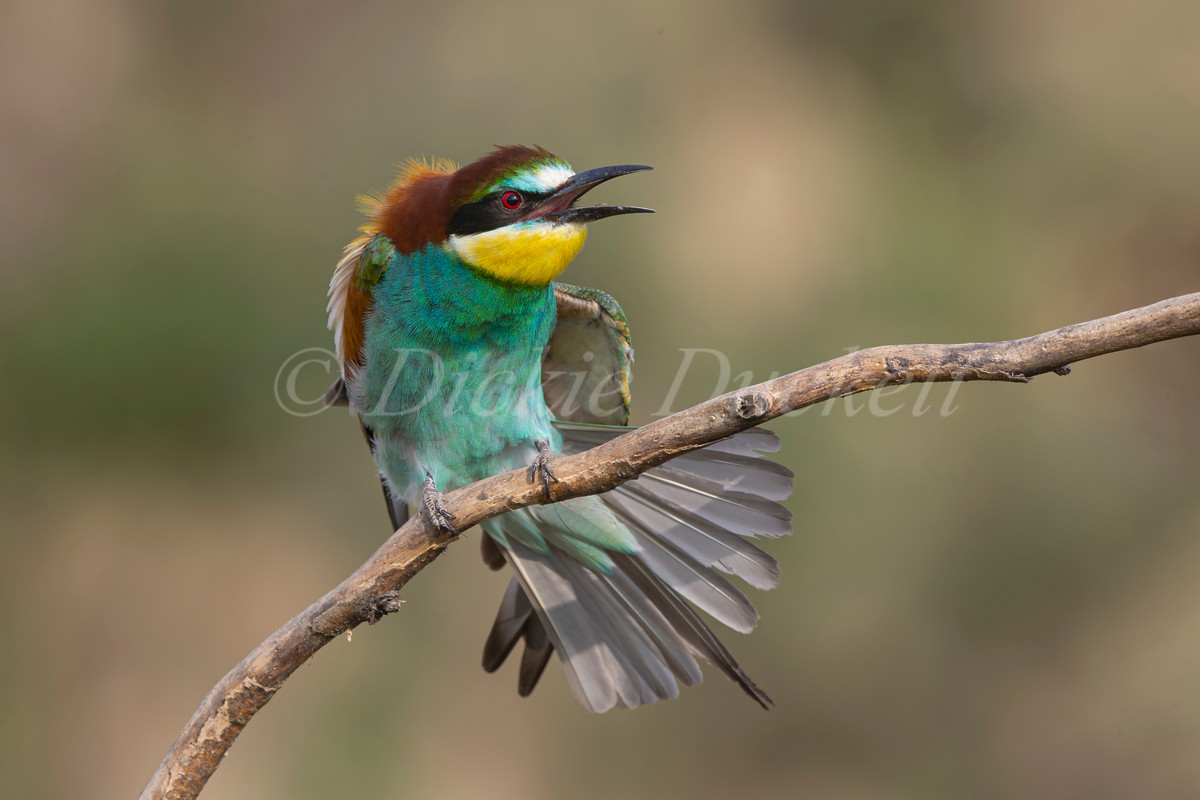 _H2P3730 Bee Eater stretching.jpg