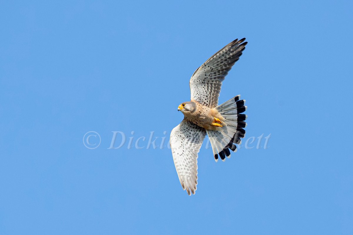 _H2P0874 Kestrel in flt.jpg