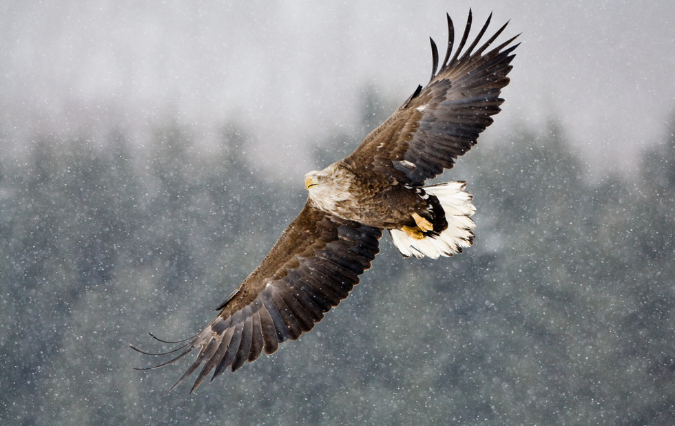 _93C4185 Eagle in falling snow