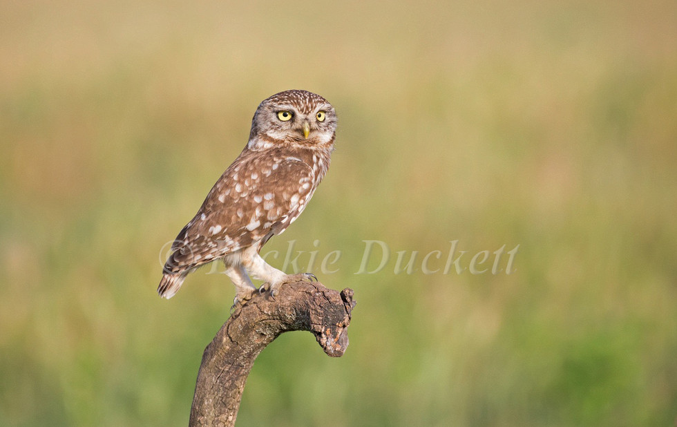 _H2P1970 Little Owl perched.jpg