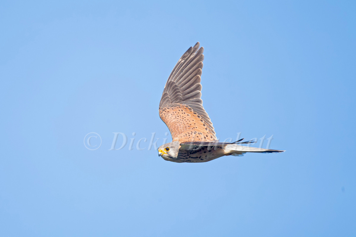 _H2P1823 Kestrel in flt.jpg