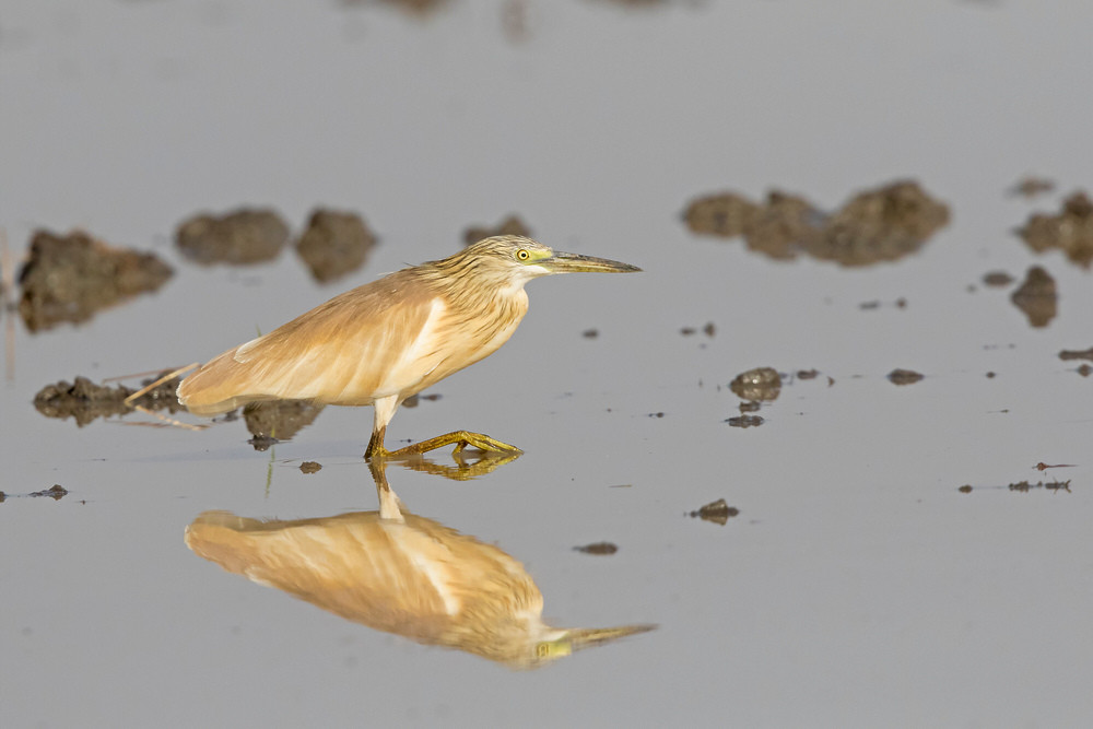 _A5A2153 Squacco Heron in Rice field.jpg
