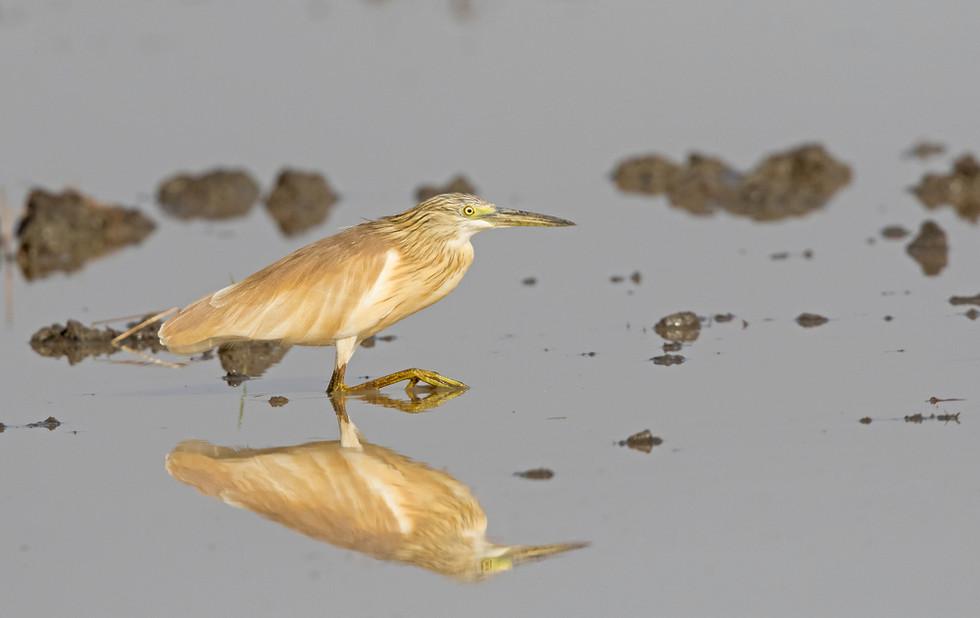 _A5A2153 Squacco Heron in Rice field.jpg
