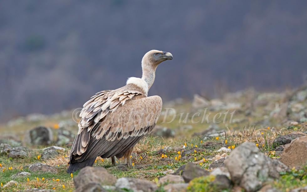 _I8A3644 Griffon Vulture.jpg