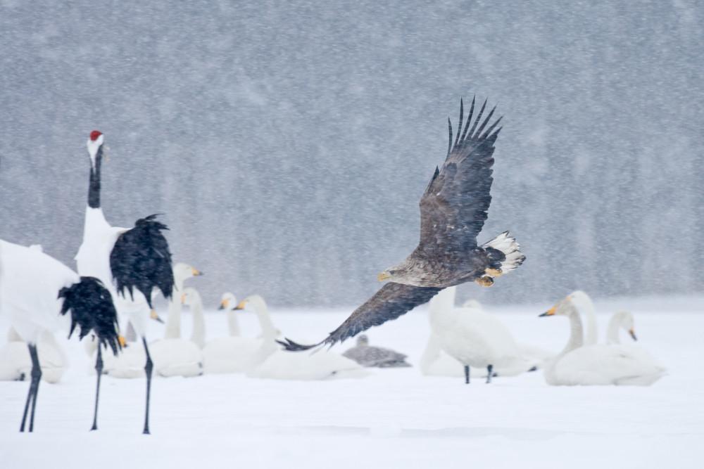 _X0A0399 Eagle among Cranes & Whooper Swans