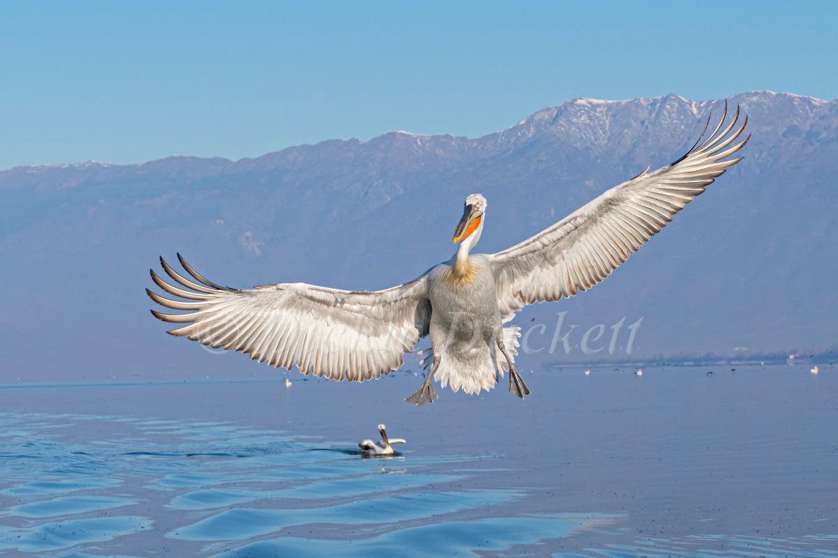 _2027323 Dal Peli inflt wings spread.jpg