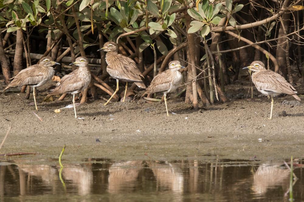 _A5A4670 Senegal Thick Knees in mangrove.jpg in edge of