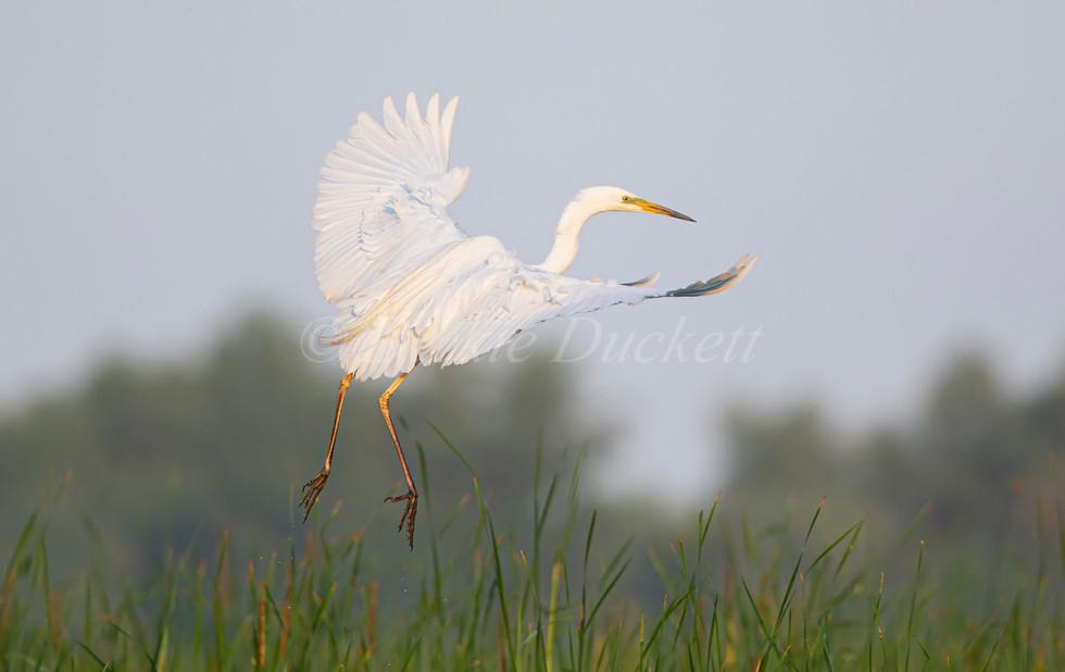 _H2P0618 GW Egret landing into reeds.jpg