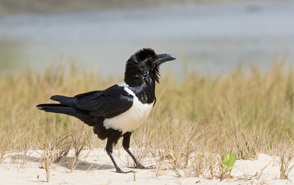 _A5A2915 Pied Crow.jpg