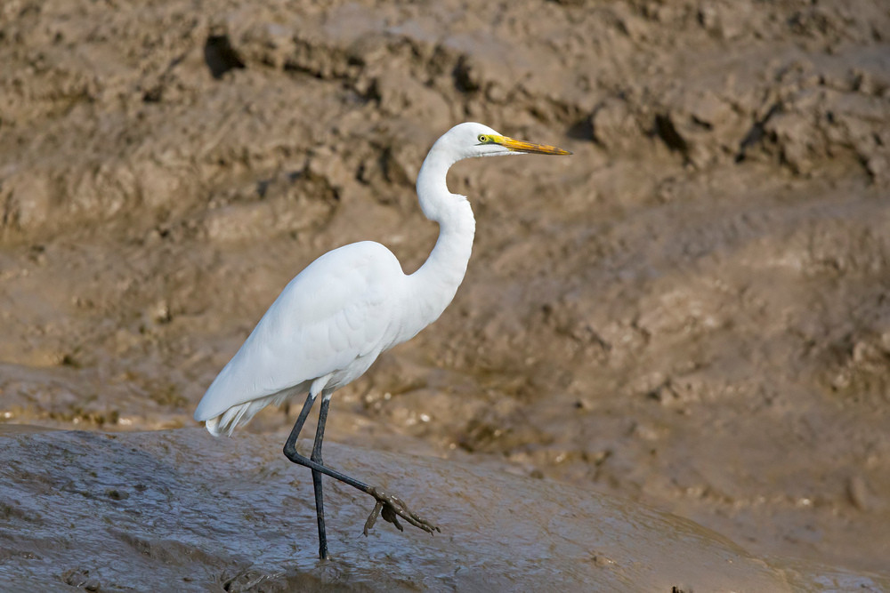 _H2P9666 Great White Egret.jpg