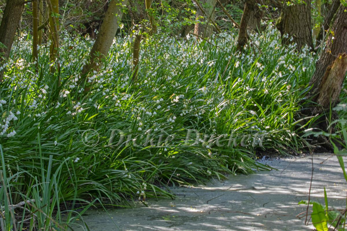 _A5A5396 Lodden Lilies.jpg