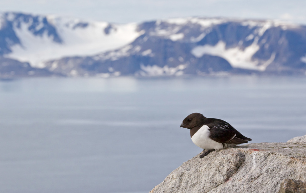03 Little Auk.jpg