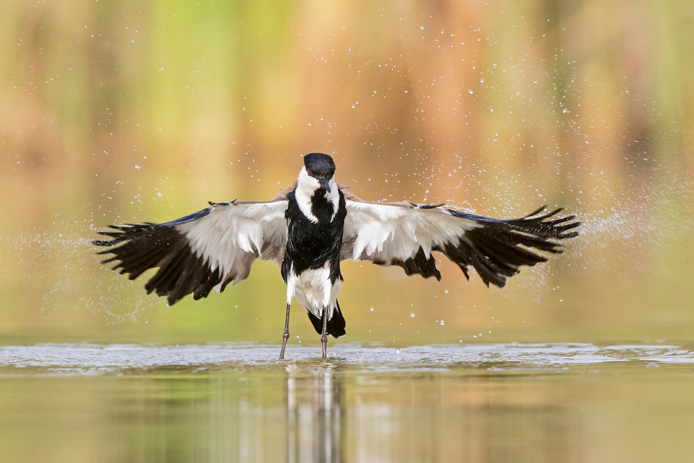 _A5A3753 Spur-winged Plover bathing.jpg