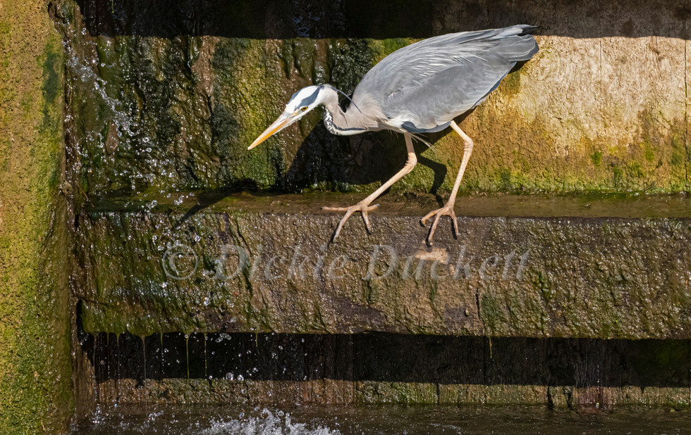 _A5A7897 Heron poised to dive.jpg