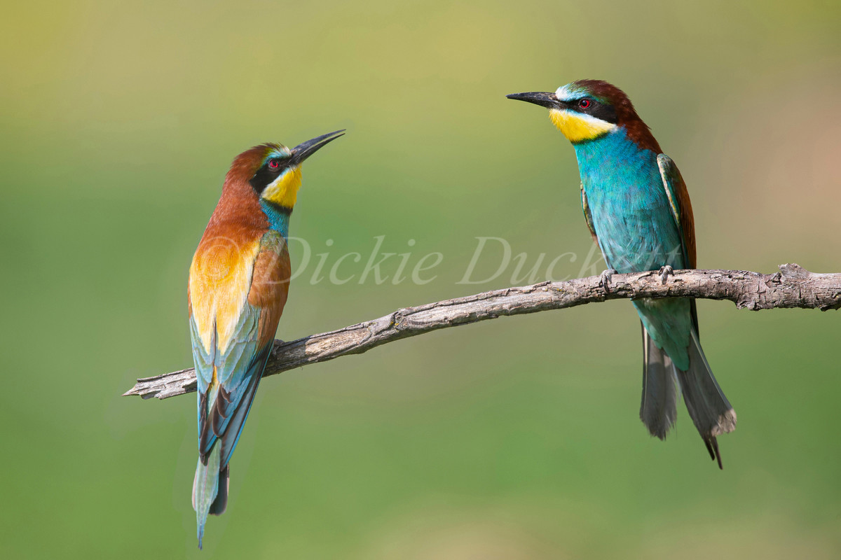 _H2P3485 Bee Eaters x 2 perched (blend w
