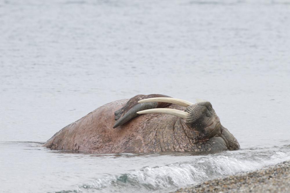 04 Walrus.jpg